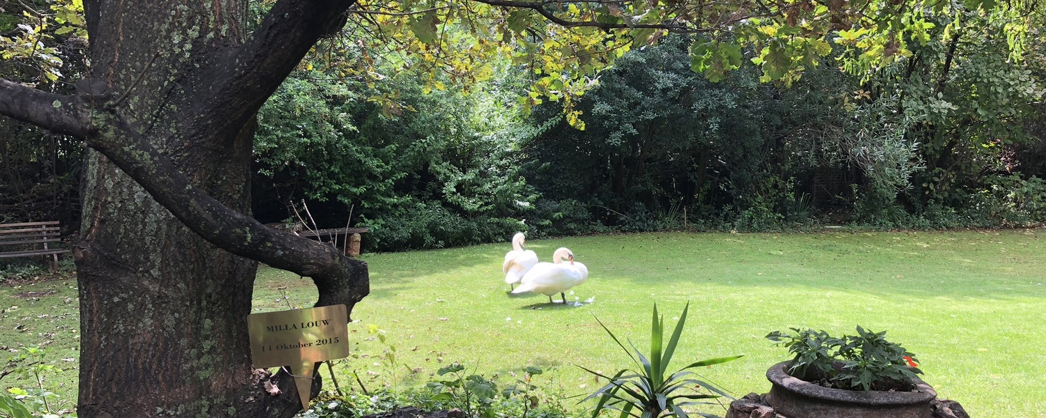 Swans on the lawn