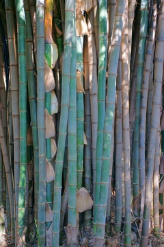 Bamboo close-up.